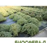 Ялівець лежачий (Juniperus procumbers Nana)