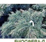 Ялівець Голд Стар (Juniperus Gold Star)
