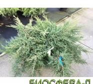 Ялівець середній Компакта (Juniperus Pfitzeriana Compacta)
