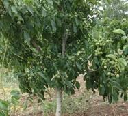 Саженцы ореха сорта Васион