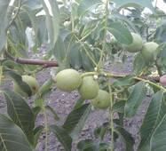 Саджанці горіха сорту Таїсія