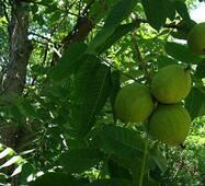 Саджанці горіха сорту Лінгуієце