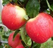 Саженец яблони Женева Эрли