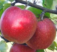 Саженец яблони Гала маст