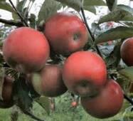 Саженец яблони Айдаред