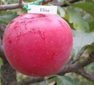 Яблука Еліза