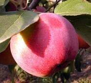 Саженец яблони Флорина