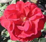 Роза Баркарола