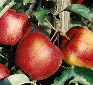 Саженец яблони Гала ред