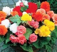 Бегония крупноцветковая Смесь цветов F1 (ЕНК-222)  за 10 сем.
