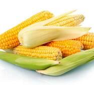 Кукуруза сахарная Юрмала (ЕКК-23М) за 50 сем.