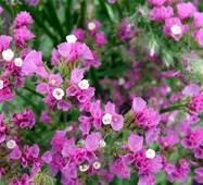 Лимониум Ажурный розовый (ЕНК-404) за 0,2 г