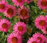 Ехінацея Дамська Шляпка рожева (ЕНК-372) за 0,5г