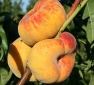 Саджанці Персика інжирного Бельмондо