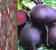 Дражированные семена на ленте Свекла Бона