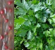 Дражированные семена на ленте Петрушка листовая Гигантелла (ЕПШ-14 )