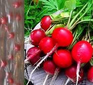 Дражированные семена на ленте Редис Сора