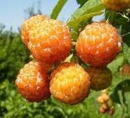 Саджанці ожиномалини Кумберленд жовтий(безколючковий)