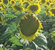 Семена подсолнечника Л 14-02 ТС LABOULET, купить в Украине