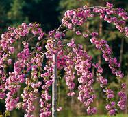 Prunus serr. 'Kiku - shidare - sakura' Сакура