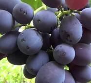 Виноград Фуршетний