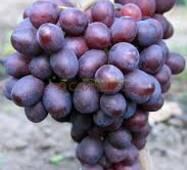 Саженцы винограда Памяти Учителя, купить