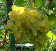 Черенки винограда Гелиодор, купить