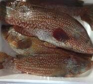 Риба охолоджена - Губан плямистий 500/1000