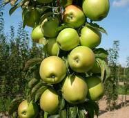 Яблоня колоновидная Белоснежка (ІЯБ-128)