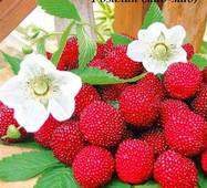 Саджанці малино-полуниці Розалін (мао-мао, мяо-мяо)
