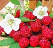 Саженцы малино-клубники Розалин (мао-мао, мяо-мяо)