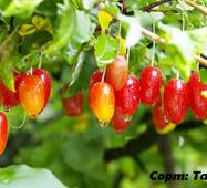 Саженцы Гуми (гумми) Таиса лох многоцветковый (Elaeagnus multiflora)