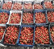 Полуниця (суниця) свіжа ягода