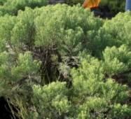 Хебе кипарисовидна - Hebe cupressoides