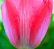 Цибулини тюльпана Elizabeth Arden
