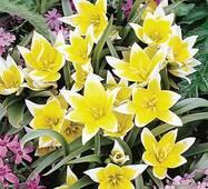 Цибулини тюльпан Tarda