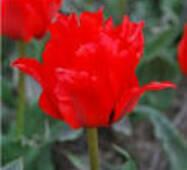 Луковицы тюльпана Roodkapje