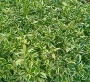 Дерен Аlba Elegantissima (2-4 л)