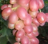 Виноград Лівія