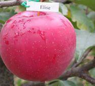 Яблоня Элиза (зимний сорт)