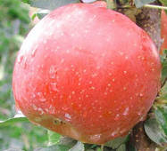 Яблоня Фуджи (зимний сорт) (ІЯБ-23)