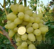 Саженцы винограда Зарница купить в Украине