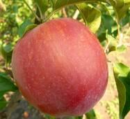 Яблоня Джумбо Помм (ІЯБ-138)
