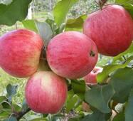 Саженцы яблони Конфетное (летний сорт) (ІЯБ-44)