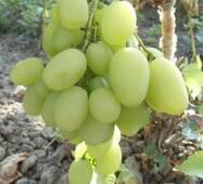 Cаженцы винограда Илария купить в Киеве