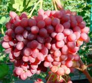 Саженцы винограда Розмус купить в Черновцах