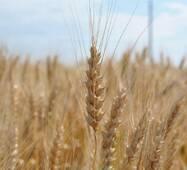 Насіння озимої пшениці Золотоколоса (Еліта)