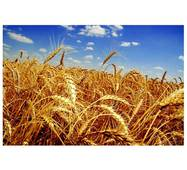 Насіння пшениці Фаворитка (Перша репродукція)