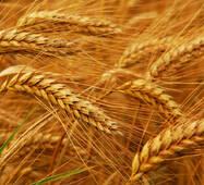 Насіння озимої пшениці Смуглянка (Супереліта)