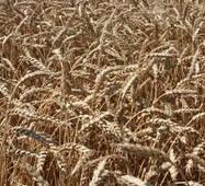 Насіння озимої пшениці Наснага (Еліта)